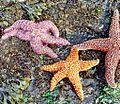 Sea stars.jpeg