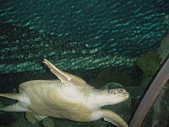 Sea turtle in aquarium.jpg