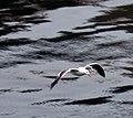 Seagull's Flight over Dark Waters (316360329).jpg