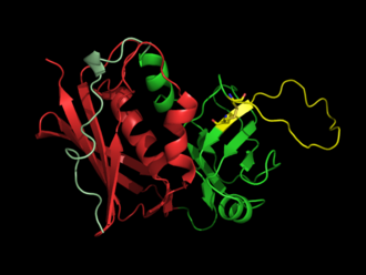 "Superantigen - SEB, a typical bacterial superantigen (PDB:3SEB). The β-grasp domain is shown in red, the β-barrel in green, the ""disulfide loop"" in yellow."