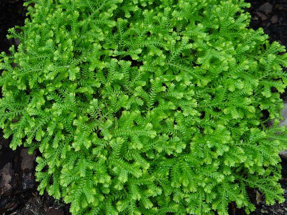 Selaginella kraussiana (C Jerzy Opioła via Wikimedia Commons)