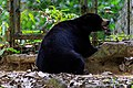 Sepilok Sabah BSBCC-photos-of-the bears-05.jpg