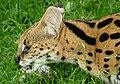 Serval (Leptailurus serval) male eating a chicken leg ... (captive specimen) (46710583602).jpg