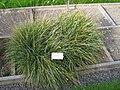 Sesleria caerulea - Oslo botanical garden - IMG 8887.jpg
