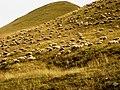 Sheep (NE Georgia).jpg