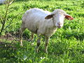 Sheep at Erlenbruck 5343.jpg
