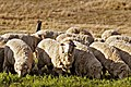 120px-Sheep_eating_grass_edit02.jpg