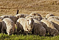 Sheep grazing in rural Australia