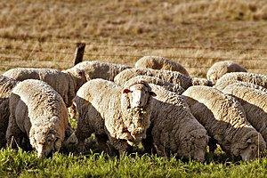 Australian cuisine - Sheep grazing in rural Australia. Early British settlers introduced Western stock and crops, Australian agriculture now produces an abundance of fresh produce.