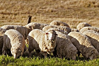 Sheep farming raising and breeding of domestic sheep