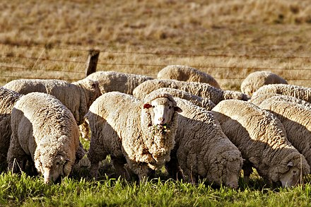 Sheep grazing in rural Australia. Early British settlers introduced Western stock and crops Sheep eating grass edit02.jpg
