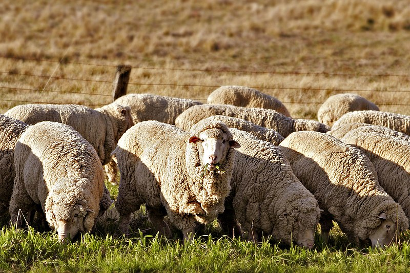 File:Sheep eating grass edit02.jpg