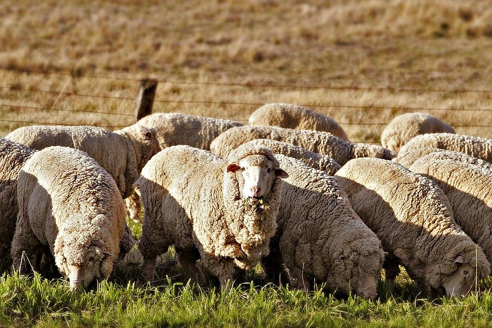 Sheep eating grass edit02