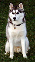 Siberian husky.jpg