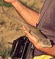 Sierra Nevada Lizard (Timon nevadensis) male (found by Jean NICOLAS) (35753388764).jpg