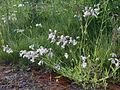 Silene vulgaris Oulu, Finland 29.06.2013.jpg