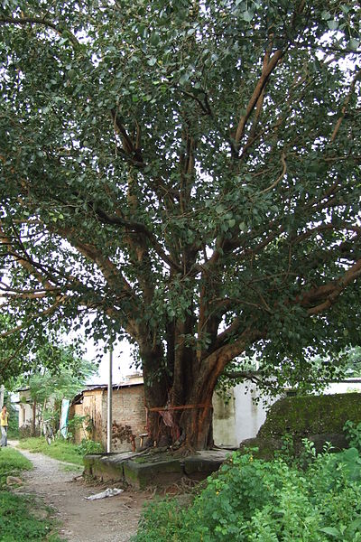 Siliguri-peepal-tree-2.JPG