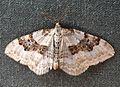 Silver-ground Carpet.Xanthorhoe montanata montanata - Flickr - gailhampshire (1).jpg