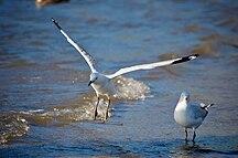 Baynes Island-Fauna-Silver Gulls Wings