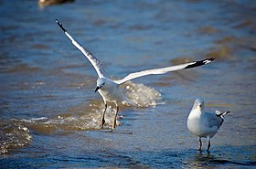 Two silver gulls, one standing and one in flight, at the water's edge