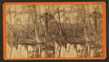 Silver Springs, Fla. Spearing fish, from Robert N. Dennis collection of stereoscopic views.png
