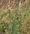 Silver cockscomb (Celosia argentea) in Hyderabad, AP W IMG 7926.jpg