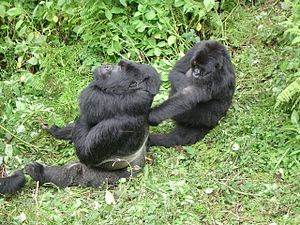 Mating system - Male and female gorilla, gorillas have a polygynous mating system