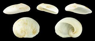 <i>Sinum bifasciatum</i> Species of gastropod