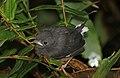 Slate-throated whitestart (Myioborus miniatus aurantiacus) juvenile.jpg