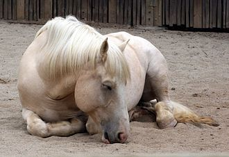 American Cream Draft - Skin freckling is slightly visible around the muzzle of this resting horse