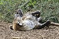 Sleeping Hyena (9971300444).jpg