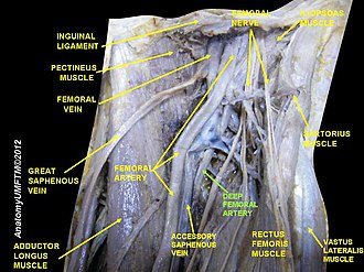 Deep artery of the thigh - Image: Slide 18LLLL