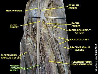 Anterior interosseous artery - Image: Slide 2PPPP