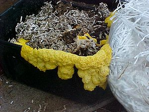 Slime mold