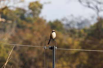 Small Bird Sitting On An Inactive Electric Fence Inside Jim Corbett National Park.jpg