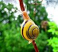 Snail-WA papa edit.jpg