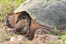 Snapping turtle 2 md.jpg