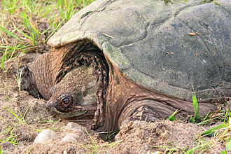 Chelydridae - The common snapping turtle (Chelydra serpentina) a species of Chelydridae