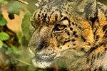 Snow Leopard - Linton Zoo (16273689913).jpg