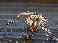 "Snowy Owl"" - ThingLink"