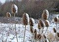 Snowy teasels - geograph.org.uk - 1660889.jpg