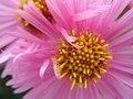 So pink (3989183225).jpg