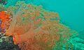 Soft Coral (Scleronephthya sp.) (6085814274).jpg