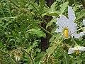 Solanum-sisymbriifolium3.jpg