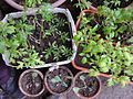 Solanum lycopersicum and Brassica oleracea convar. capitata var. alba - 1002.jpg