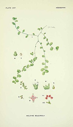 Soleirolia soleirolii illustration.jpg