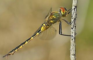 <i>Somatochlora</i> Genus of dragonflies