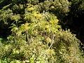 Sonchus palmensis (Garafía) 01.jpg