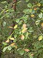 Sorbus haesitans 150912.jpg
