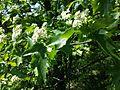 Sorbus torminalis sl11.jpg